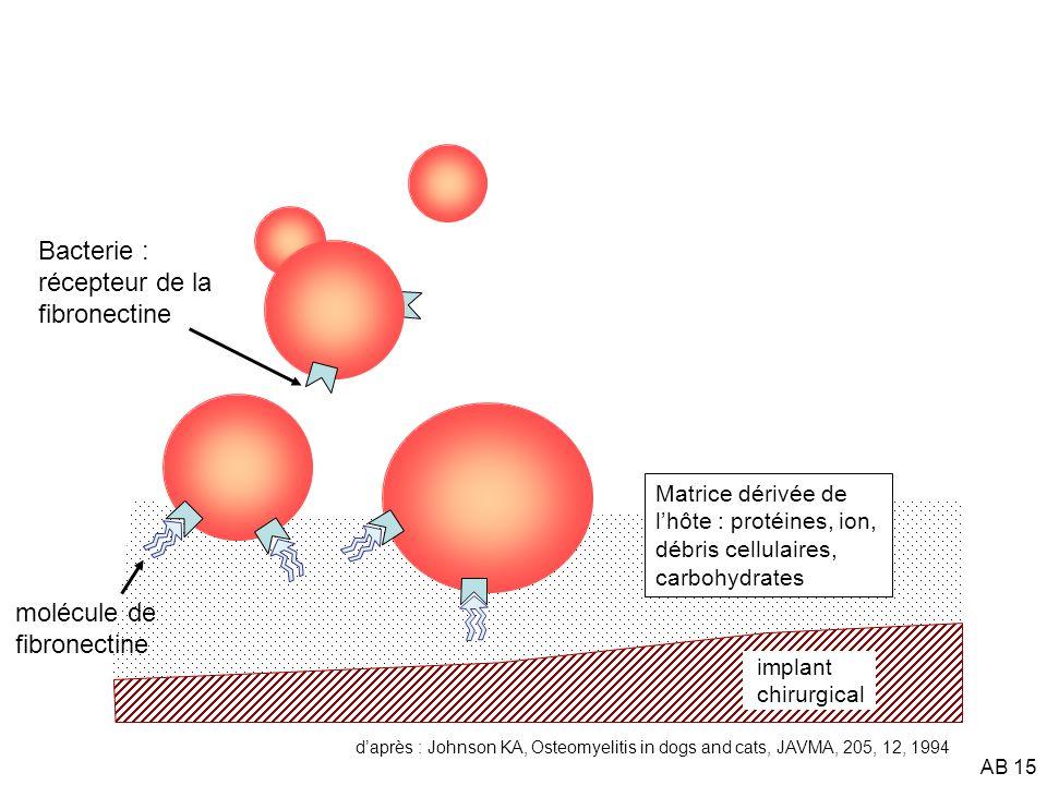 Bacterie : récepteur de la fibronectine