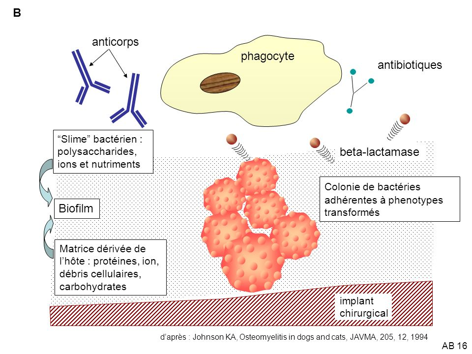 B anticorps phagocyte antibiotiques beta-lactamase Biofilm