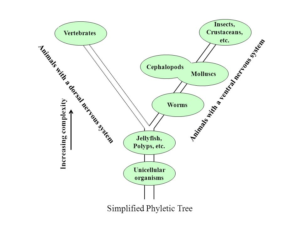 Simplified Phyletic Tree