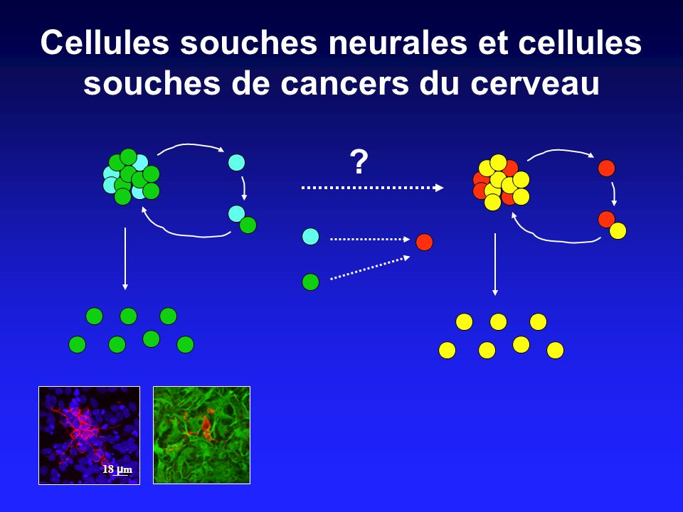 Cellules souches neurales et cellules souches de cancers du cerveau