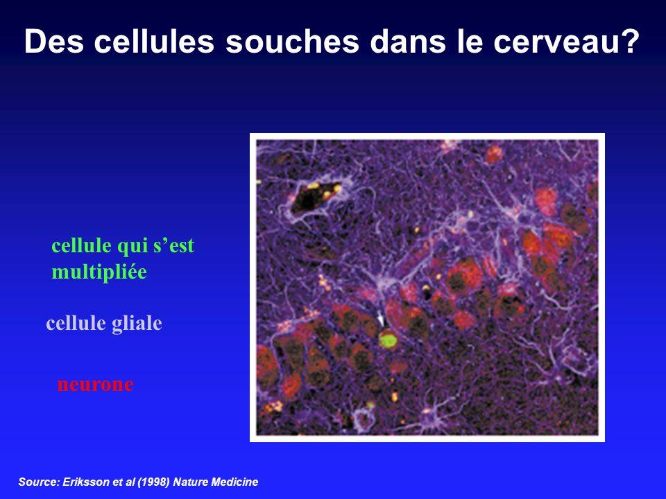 Des cellules souches dans le cerveau