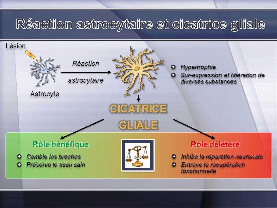 Réaction astrocytaire et cicatrice gliale