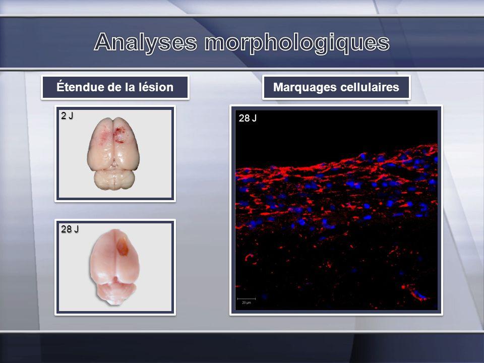 Analyses morphologiques