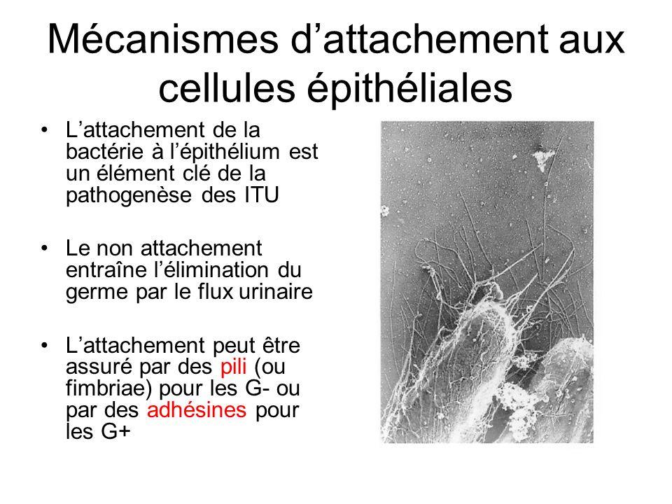 Mécanismes d'attachement aux cellules épithéliales