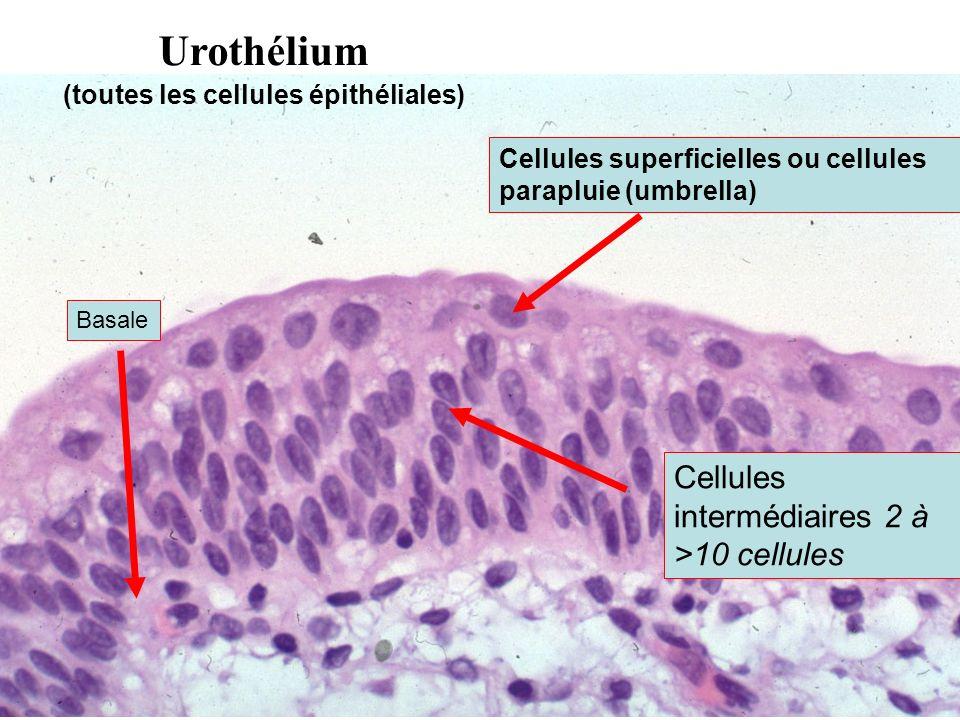 (toutes les cellules épithéliales)