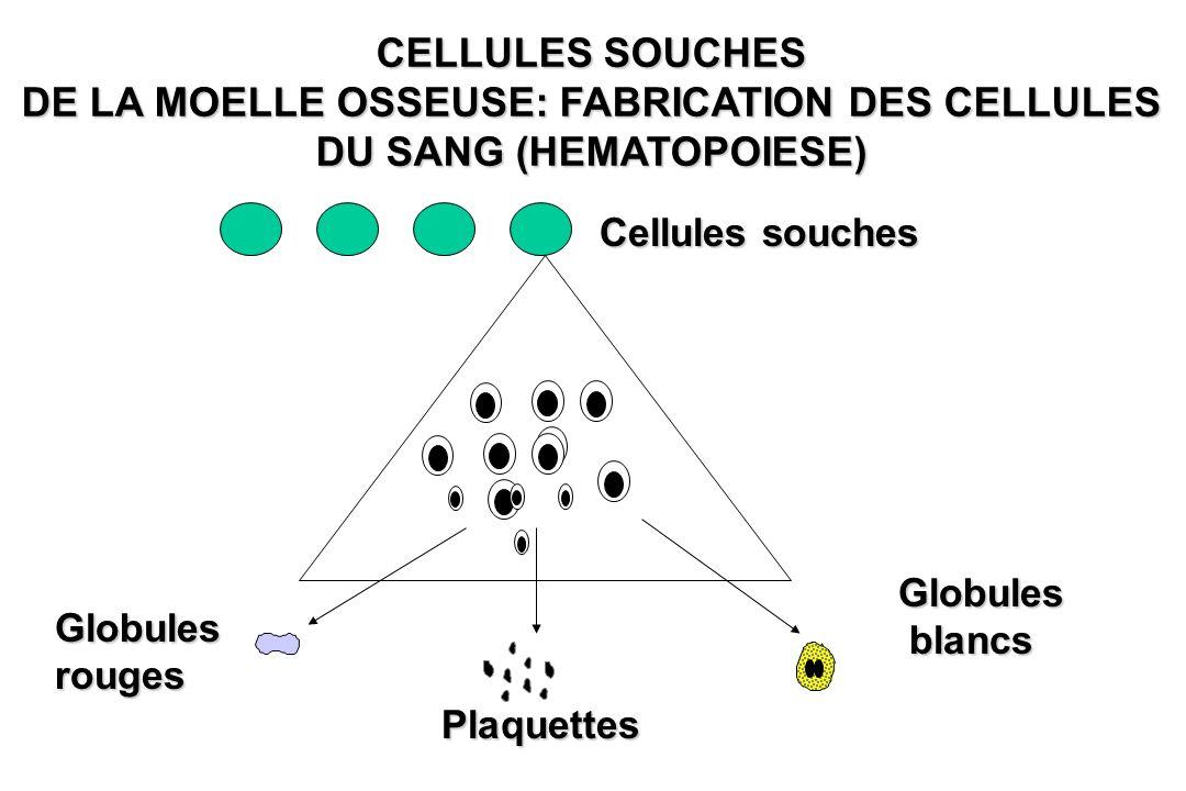 DE LA MOELLE OSSEUSE: FABRICATION DES CELLULES DU SANG (HEMATOPOIESE)