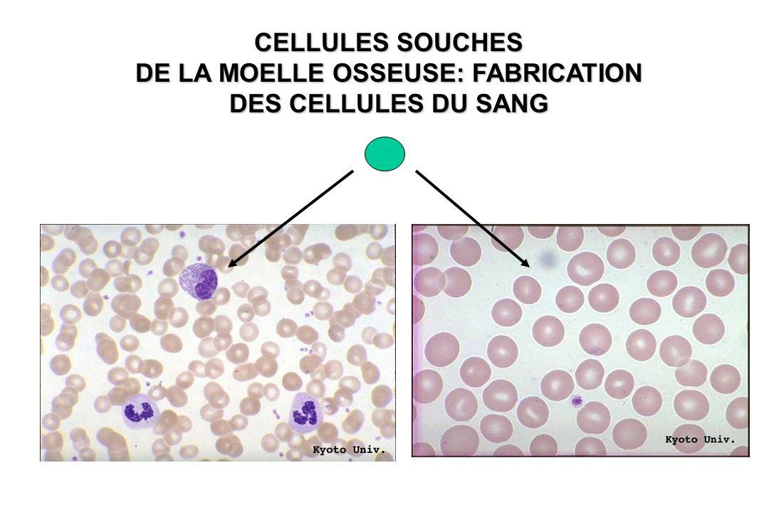 DE LA MOELLE OSSEUSE: FABRICATION DES CELLULES DU SANG