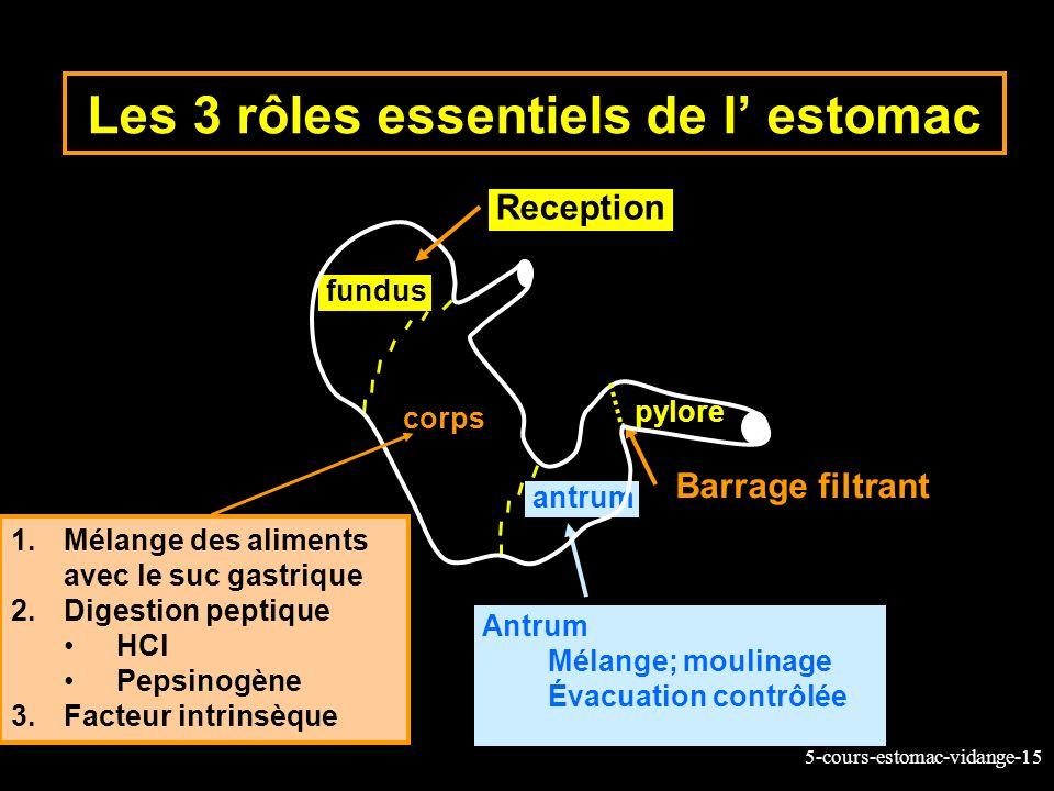 Les 3 rôles essentiels de l' estomac