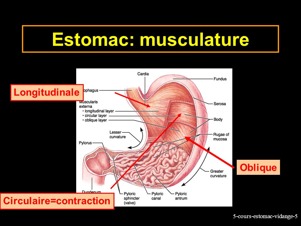 Estomac: musculature Longitudinale Oblique Circulaire=contraction