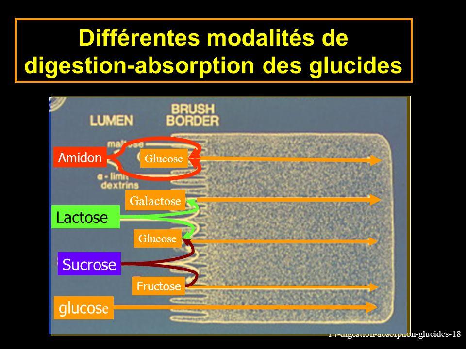 Différentes modalités de digestion-absorption des glucides