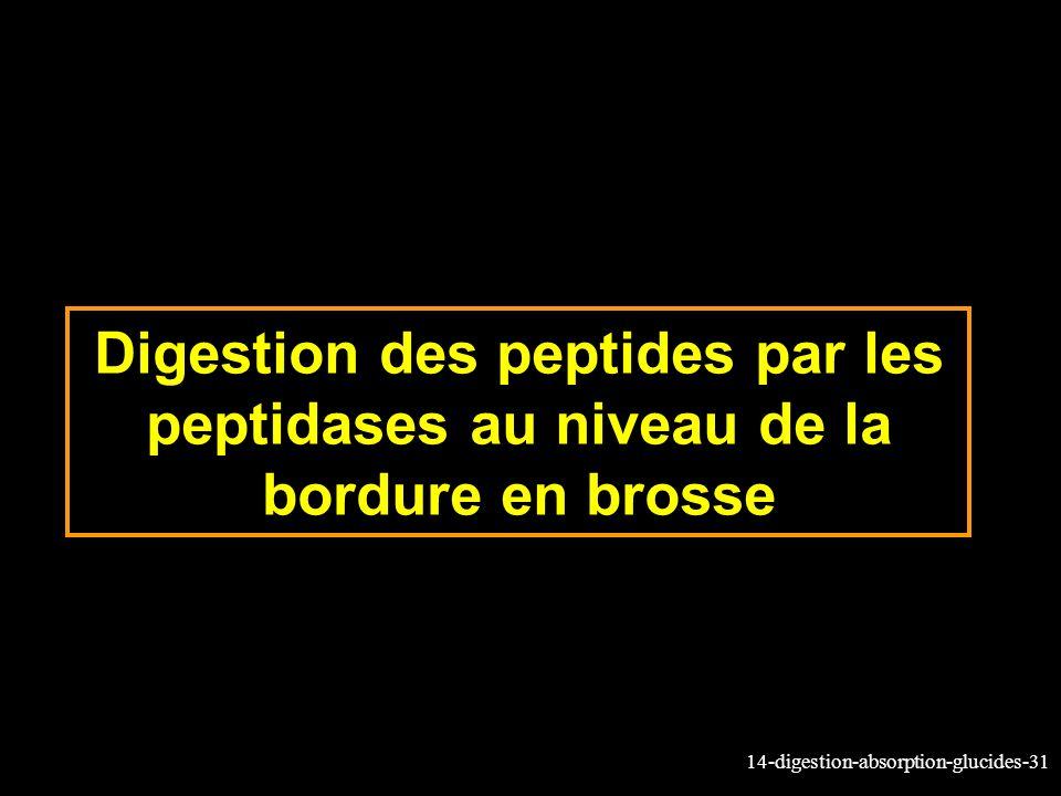 Digestion des peptides par les peptidases au niveau de la bordure en brosse