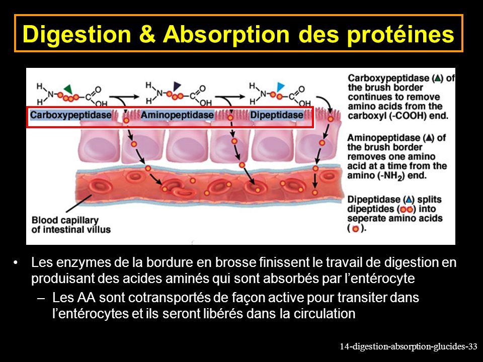 Digestion & Absorption des protéines