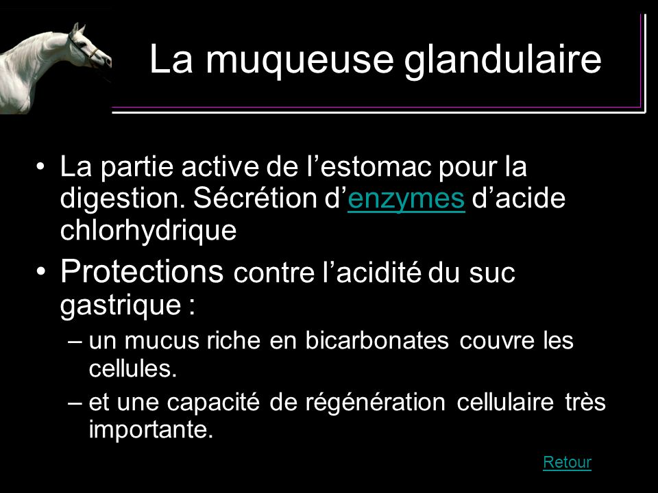 La muqueuse glandulaire
