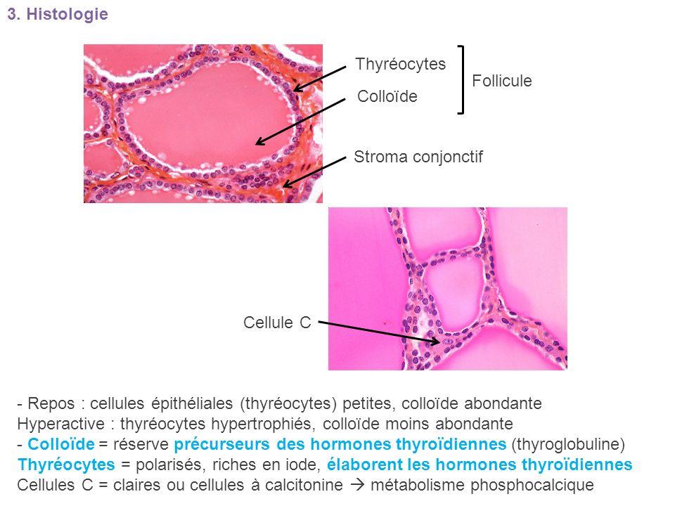 3. Histologie Thyréocytes. Follicule. Colloïde. Stroma conjonctif. Cellule C.