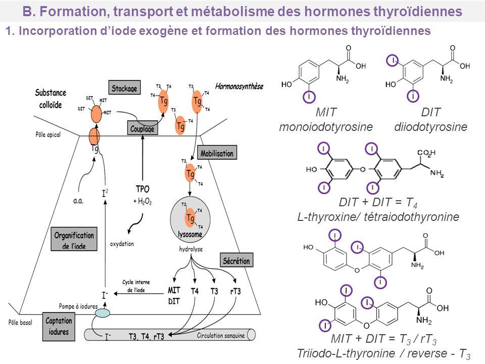B. Formation, transport et métabolisme des hormones thyroïdiennes