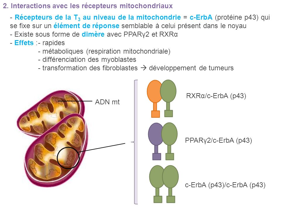 2. Interactions avec les récepteurs mitochondriaux