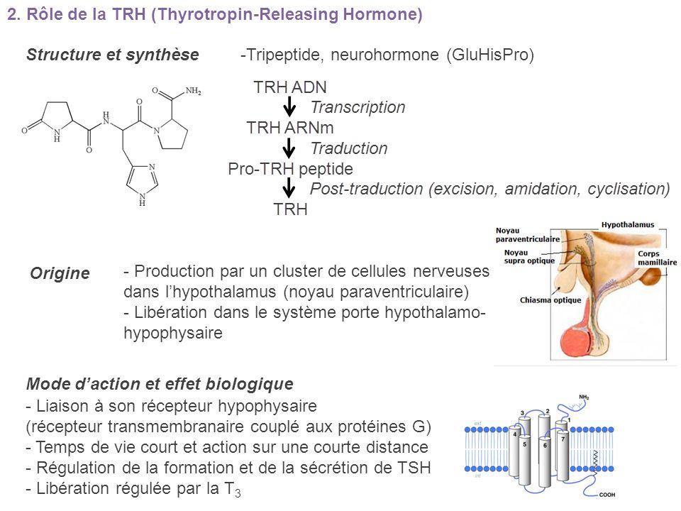 2. Rôle de la TRH (Thyrotropin-Releasing Hormone)
