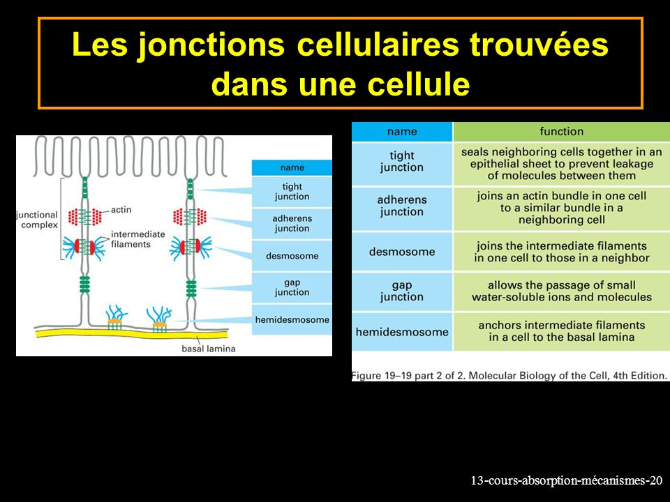 Les jonctions cellulaires trouvées dans une cellule