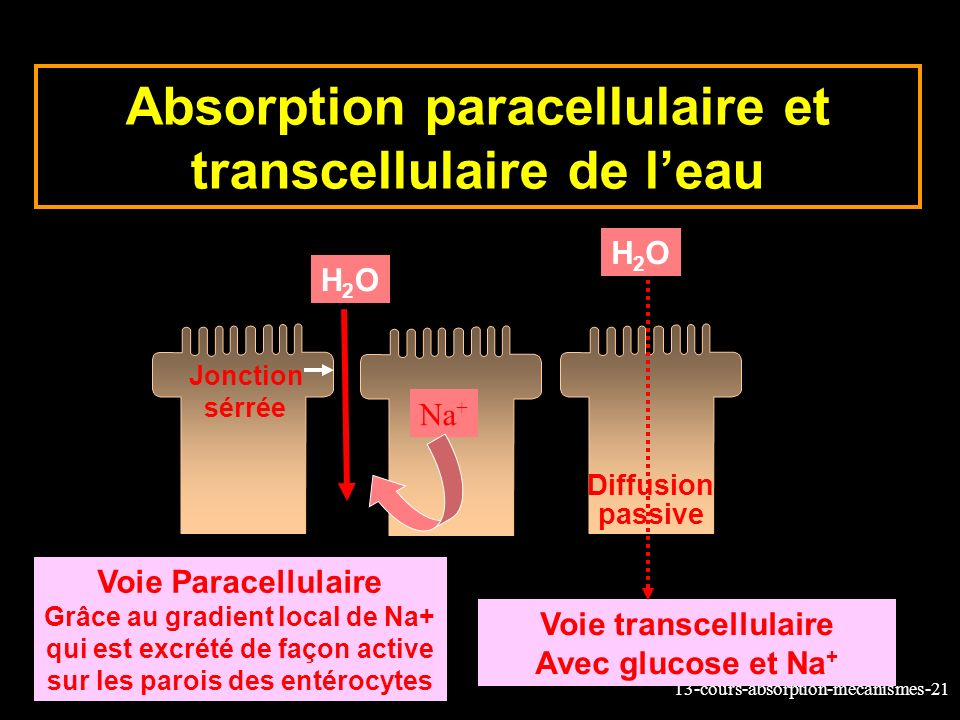 Absorption paracellulaire et transcellulaire de l'eau