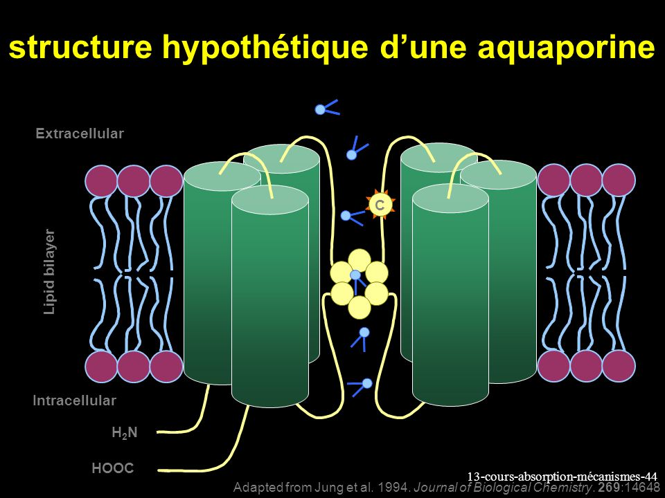 structure hypothétique d'une aquaporine