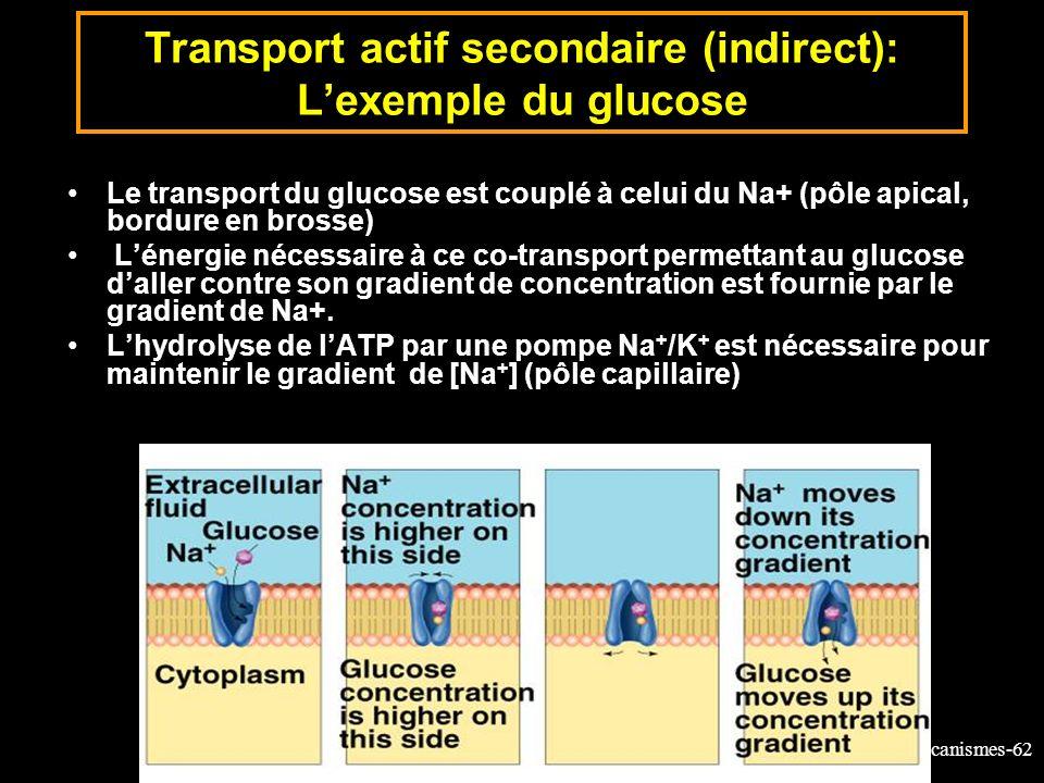 Transport actif secondaire (indirect): L'exemple du glucose