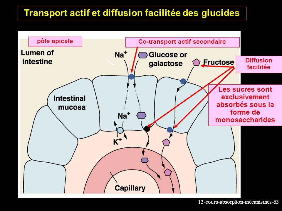 Transport actif et diffusion facilitée des glucides