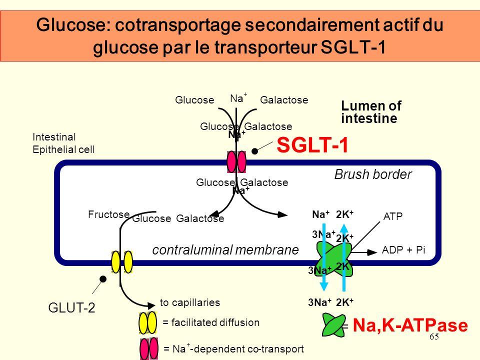 Glucose: cotransportage secondairement actif du glucose par le transporteur SGLT-1