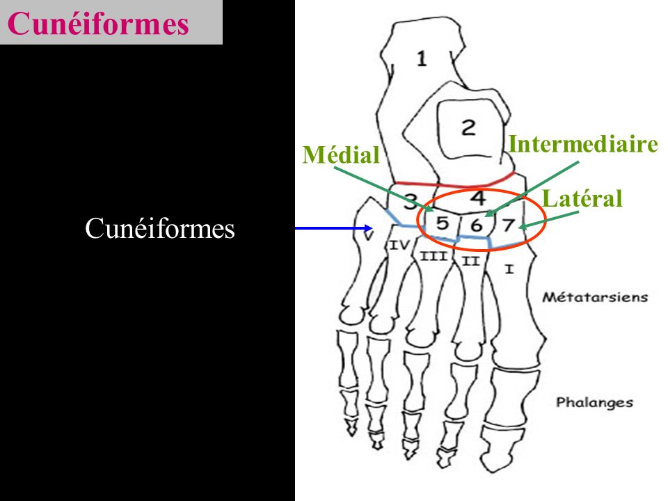 Cunéiformes Intermediaire Médial Latéral Cunéiformes