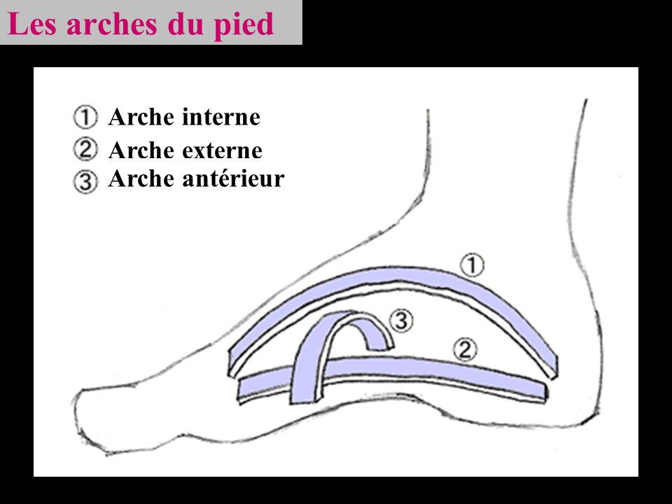 Les arches du pied Arche interne Arche externe Arche antérieur