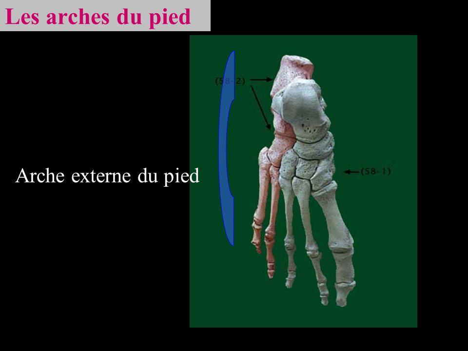 Les arches du pied Arche externe du pied