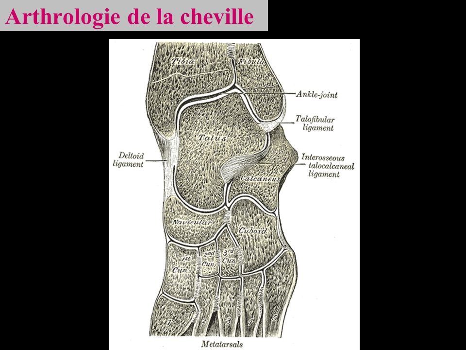 Arthrologie de la cheville