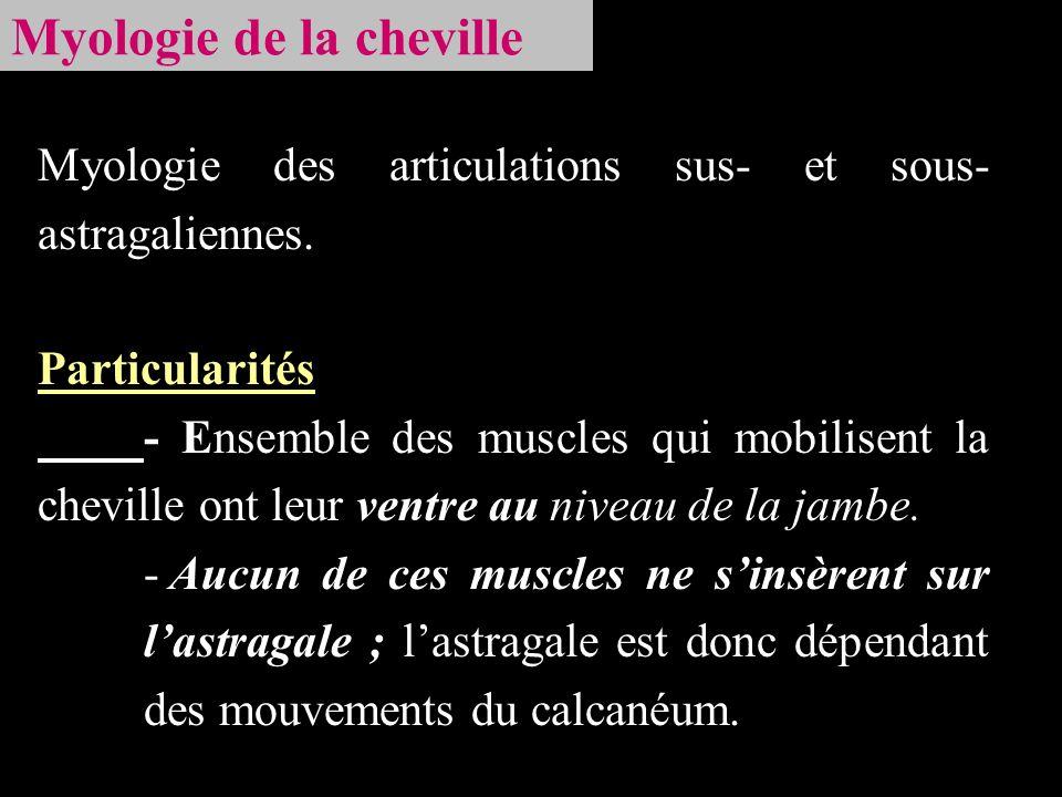 Myologie de la cheville