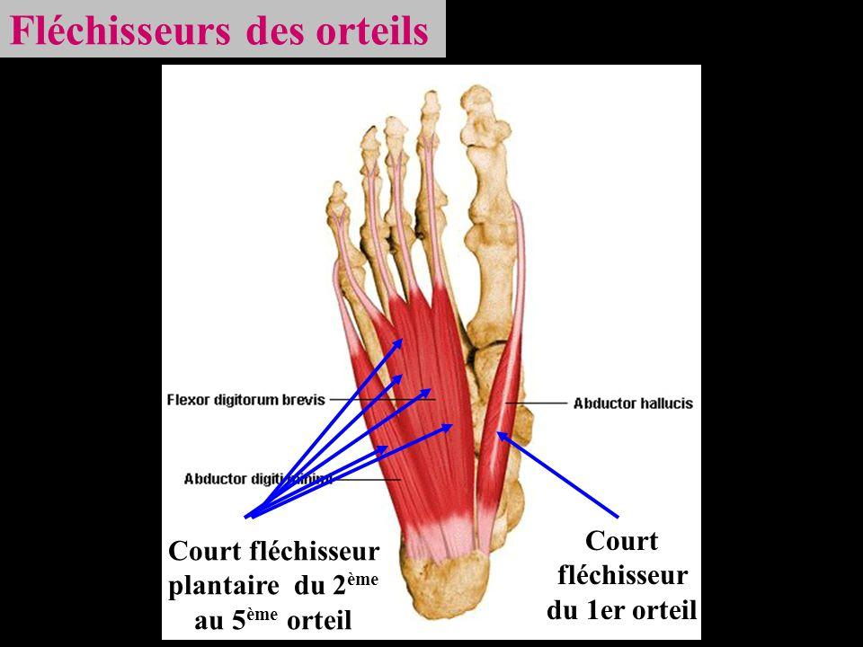 Fléchisseurs des orteils