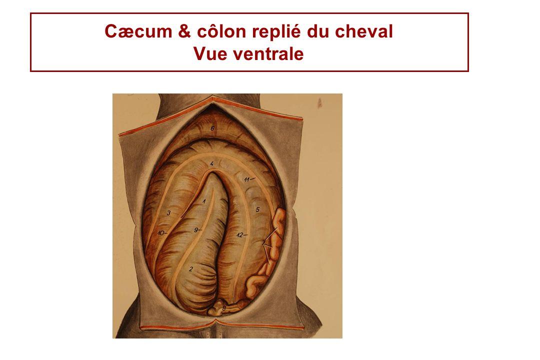 Cæcum & côlon replié du cheval Vue ventrale