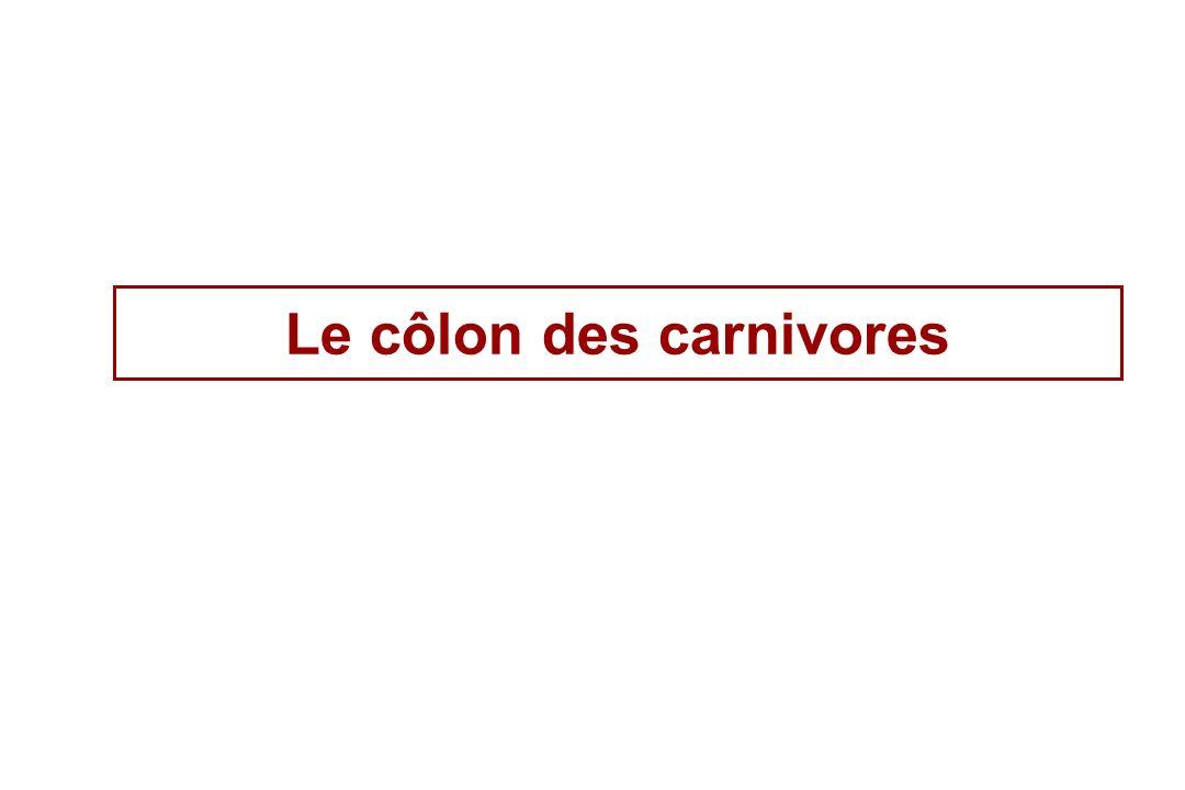 Le côlon des carnivores
