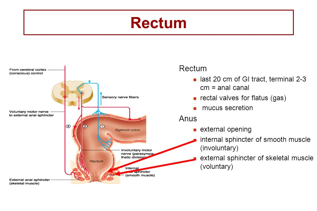 Rectum Rectum. last 20 cm of GI tract, terminal 2-3 cm = anal canal. rectal valves for flatus (gas)