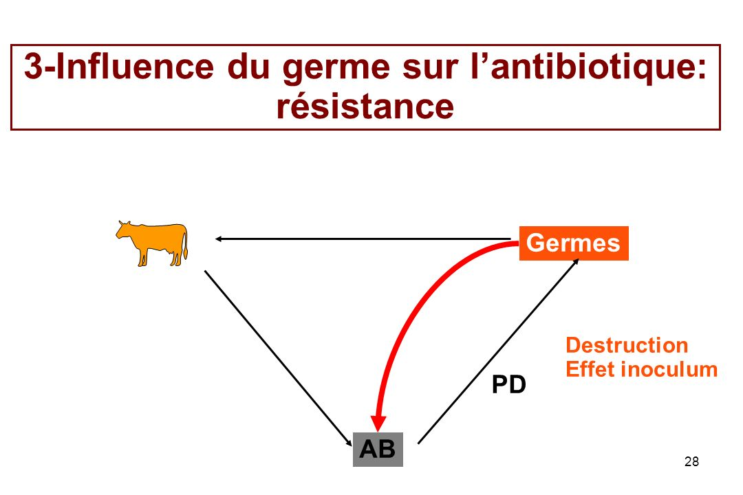 3-Influence du germe sur l'antibiotique: