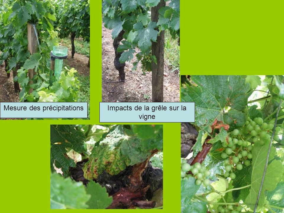 Mesure des précipitations Impacts de la grêle sur la vigne
