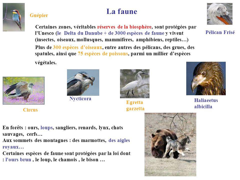 La faune Guépier Pélican Frisé