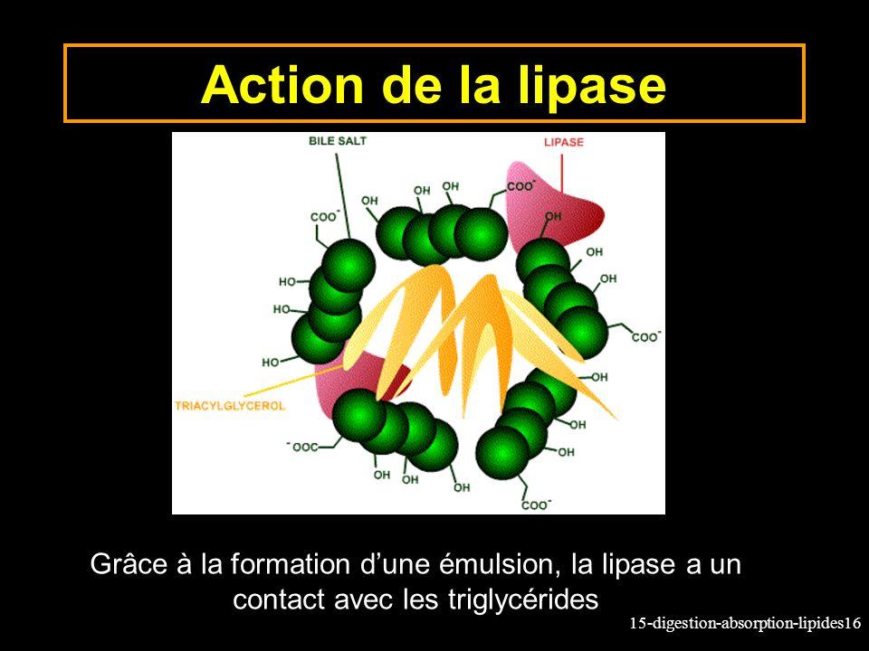 Action de la lipase Grâce à la formation d'une émulsion, la lipase a un contact avec les triglycérides.