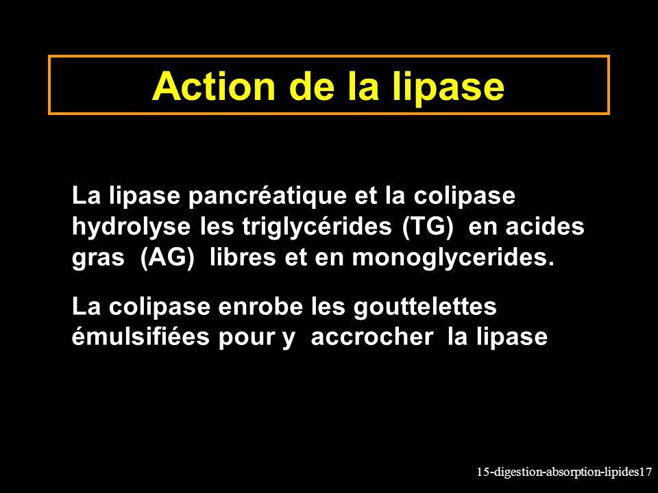Action de la lipase La lipase pancréatique et la colipase hydrolyse les triglycérides (TG) en acides gras (AG) libres et en monoglycerides.