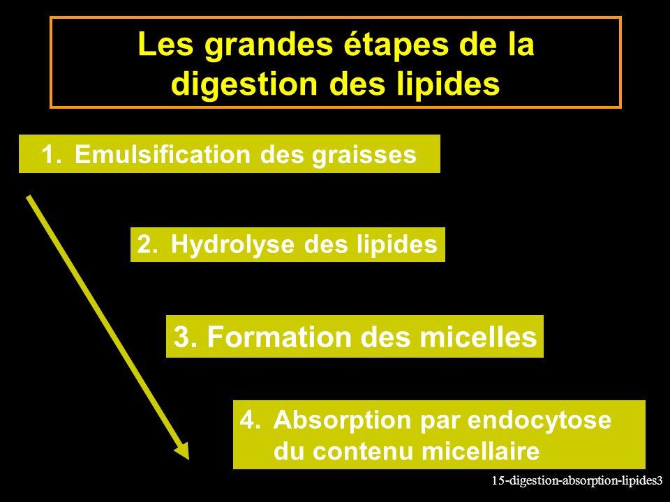 Les grandes étapes de la digestion des lipides
