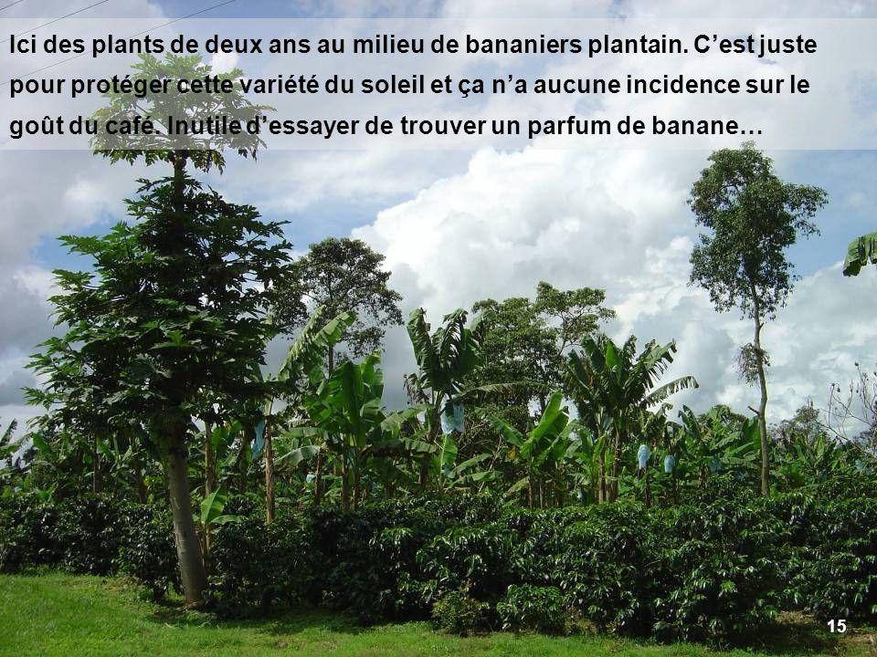 Ici des plants de deux ans au milieu de bananiers plantain