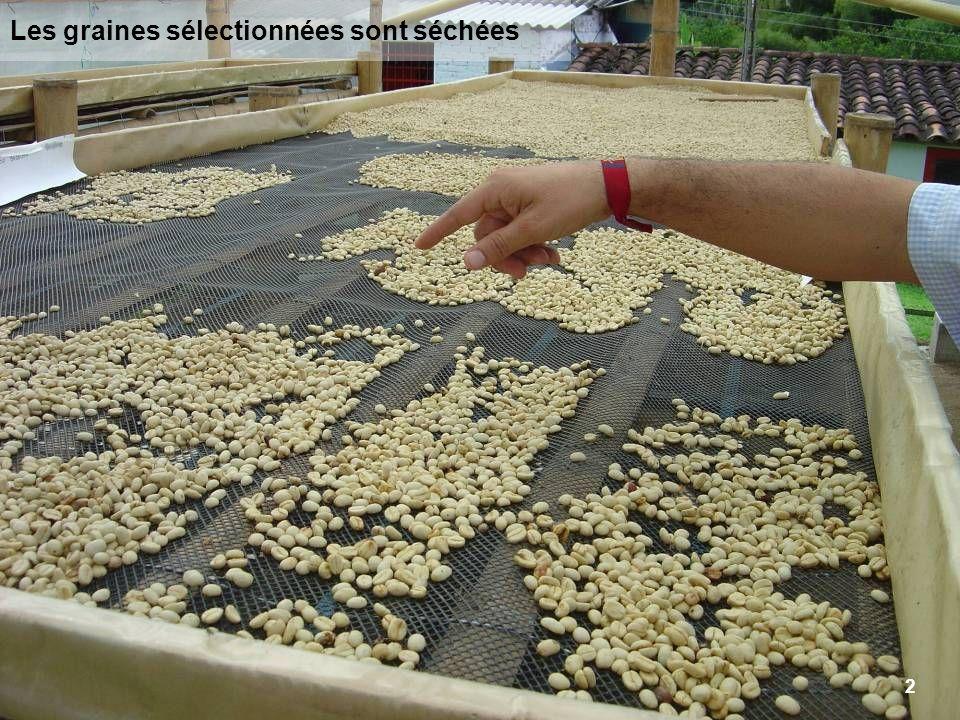 Les graines sélectionnées sont séchées