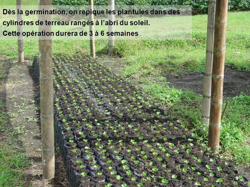 Dès la germination, on repique les plantules dans des cylindres de terreau rangés à l'abri du soleil. Cette opération durera de 3 à 6 semaines