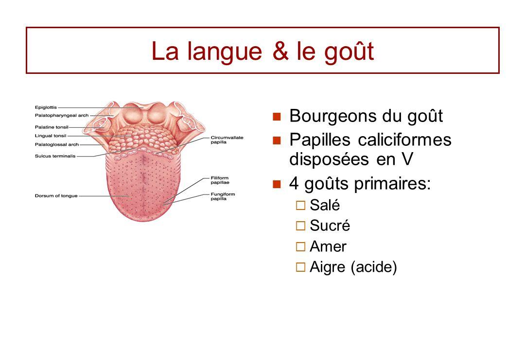 La langue & le goût Bourgeons du goût