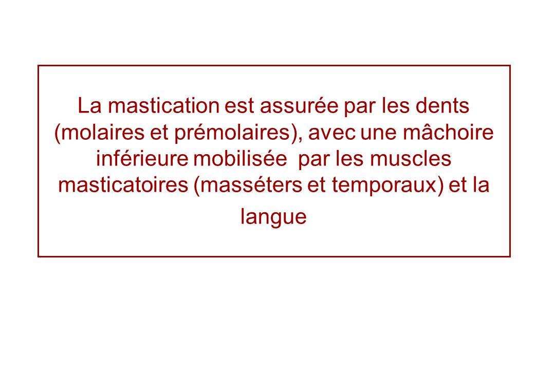 La mastication est assurée par les dents (molaires et prémolaires), avec une mâchoire inférieure mobilisée par les muscles masticatoires (masséters et temporaux) et la langue