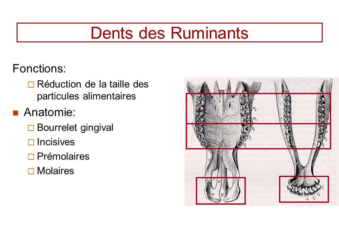 Dents des Ruminants Fonctions: Anatomie: