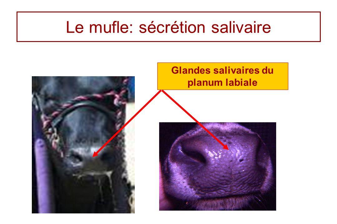 Le mufle: sécrétion salivaire