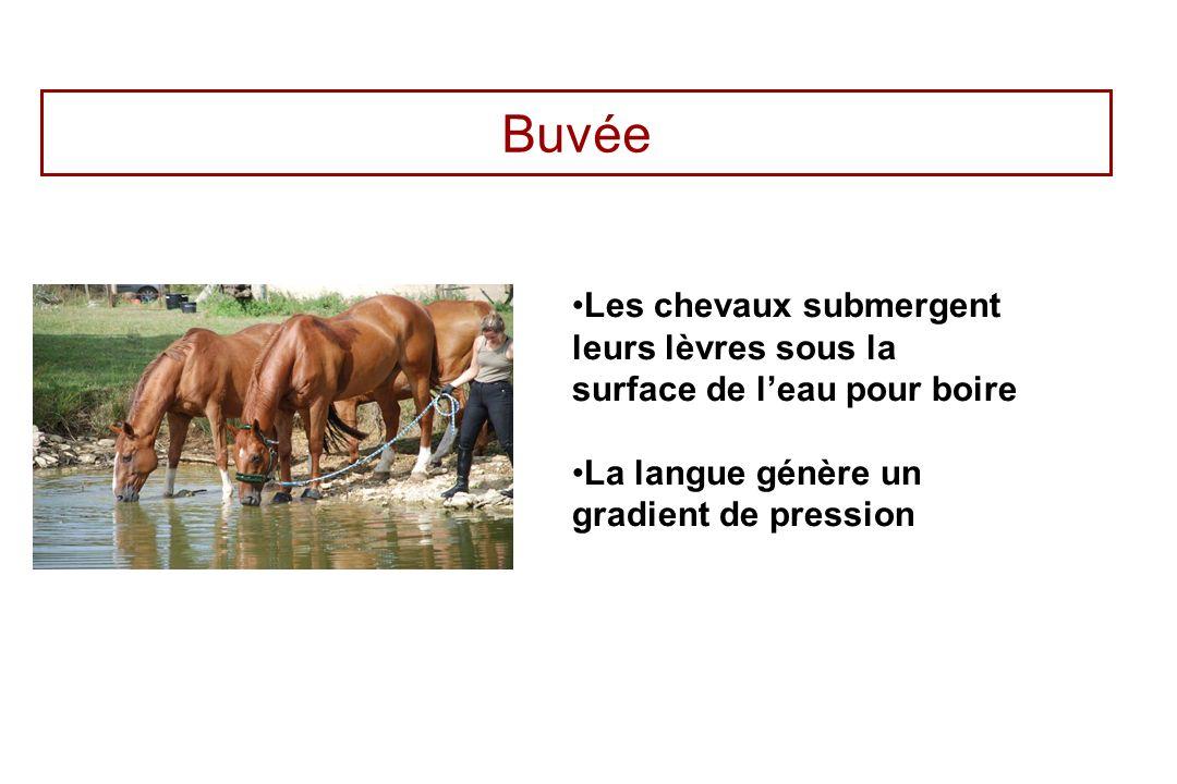 Buvée Les chevaux submergent leurs lèvres sous la surface de l'eau pour boire.